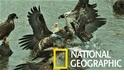 用慢動作細細觀察白頭海鵰搶食畫面