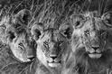 「獅」視眈眈