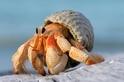 為了保護珍貴的房產,寄居蟹演化出了超長的「那話兒」