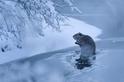 雪中暫歇:歸巢的河狸