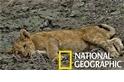 獨家畫面:是什麼神秘疾病癱瘓了南非的幼獅?