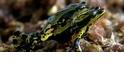箭毒蛙為什麼不會毒死自己呢?