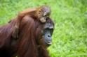 看見珍貴的紅毛猩猩 ─ 西必洛人猿庇護中心
