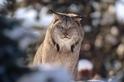 兇猛的大山貓這次成了晚餐,兇手竟是這種萌萌小動物