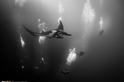 位於索科羅的太平洋巨大蝠鱝