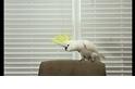 葵花鳳頭鸚鵡「雪球」的舞技可能比你強!
