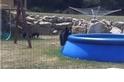 泳池裡有熊