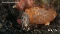 史上超慢追殺:海蛞蝓大口吞噬同類