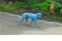 印度街頭的藍色狗狗