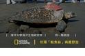 玳瑁「魷魚絲」的漫漫回家路 程一駿教授專訪