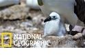 「假的!」看假鳥巢如何提升信天翁的繁殖成功率
