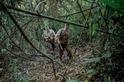 追蹤美洲豹盜獵者