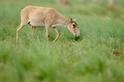 破解20萬隻瀕危羚羊的死亡之謎