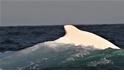罕見白色座頭鯨再現澳洲東部海域