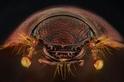 昆蟲眼睛的演化之謎