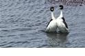 阿根廷鸊鷉––自然界的「舞」林高手《國家地理》雜誌