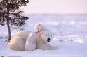 北極熊家庭