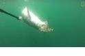 罕見畫面:同類殘「鯊」