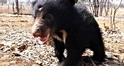 獲救一年後 懶熊孤兒「毛克利」恢復貪玩本性!