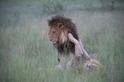 黯然消魂獅──不是交配,只是交陪啦!(二)