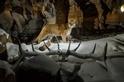 黃石公園專題:肉食性動物捲土重來