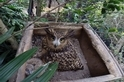 動物園的黃魚鴞「嘿美」喜獲麟兒