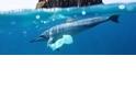 遭塑化劑危害健康的不只人類,連海豚都被拖下水