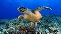 【動物好朋友】綠蠵龜(Green sea turtle)
