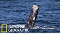 加州沿岸出現「無尾」灰鯨,究竟怎麼一回事?