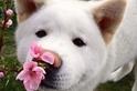 小狗與櫻花