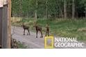 罕見畫面:來看看可愛的駝鹿三胞胎!
