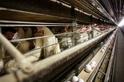 數百萬美國雞隻感染禽流感 人類是否有感染風險?