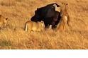 「滾一邊,別煩我!」 看大膽獅群試圖制伏河馬