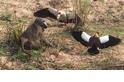 狒狒餓了 不惜偷蛋惹怒一大群雁