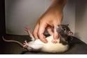搔癢為什麼會讓人發笑?科學家「請教」了老鼠!