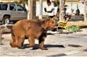 伊拉克落跑棕熊逛大街