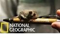 澳洲塔龍加動物園的「超迷你」侏儒袋鼯寶寶