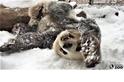 可愛警告:看看貓熊在雪地中有多歡樂!