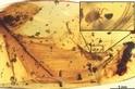 遠古琥珀中發現飽食恐龍血液的蜱