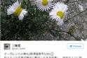 雛菊突變真的是福島輻射惹的禍?