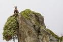遇見天堂:登高吃草的山羚