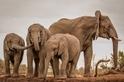 非洲巨人:波札那象群