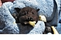 萌到融化!吃香蕉吃到「臉頰圓鼓鼓」的獲救狐蝠寶寶
