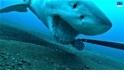 看大白鯊咬起海底攝影機
