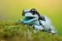亞馬遜牛奶蛙