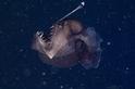 罕見的鮟鱇魚種首度被拍下影片
