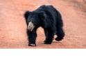 【動物好朋友】馬來熊 (Sun bear)