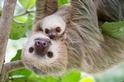 樹懶或許很慢,但是牠們不笨