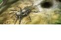 為什麼這隻古代蜘蛛有尾巴?