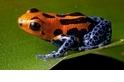【動物好朋友】箭毒蛙(Poison dart frog)